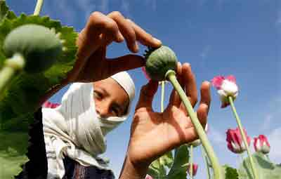 'Massive increase in poppy cultivation in Afghanistan'