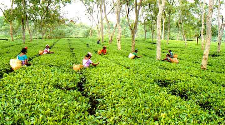Tea prices up on robust demand