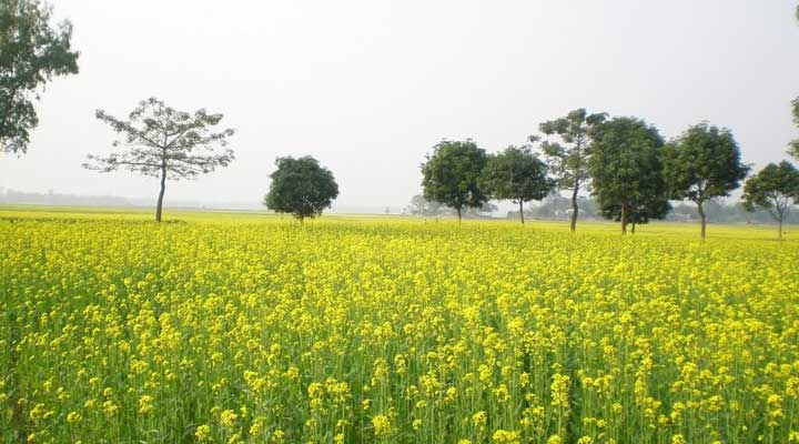 Mustard cultivation starts in Faridpur