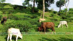 হবিগঞ্জের পাহাড়ি তাজা সবুজ ঘাসে পালন করা গরু