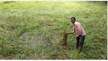 নোয়াখালীতে অর্ধলক্ষ হেক্টর রোপাআমন পানিতে