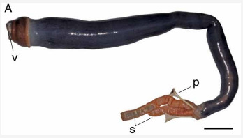 First living giant shipworm found