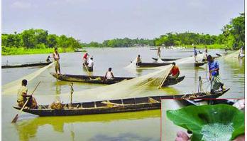 Mother fish releases eggs in Halda river