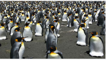 King penguins face warming challenge
