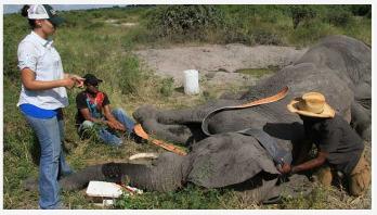 Mysteries of elephant sleep revealed