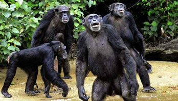 Our changing attitudes to chimpanzees
