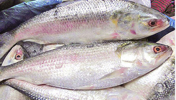 Ban on catching hilsa ends tonight