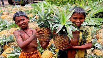 মধুপুরের আনারসের বাজার এখন দালাল-ফড়িয়াদের হাতে জিম্মি