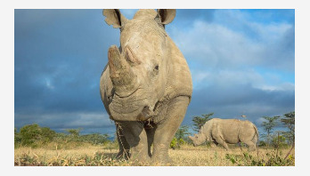 Northern white rhino: New hopes for IVF rescue