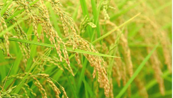 Rice safely conserved in Philippines gene bank
