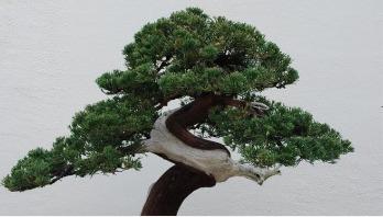 400-year old Bonsai stolen