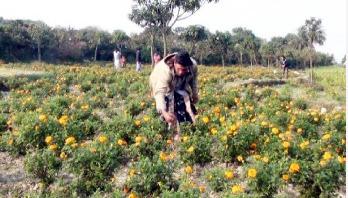 ফুল চাষে সফল চাঁপাইনবাবগঞ্জের টুটুল
