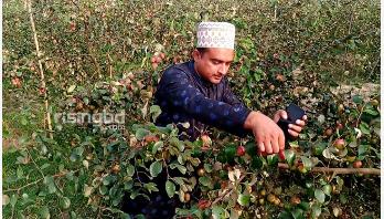 মাদারীপুরে 'কাশ্মীরি আপেল কুল'