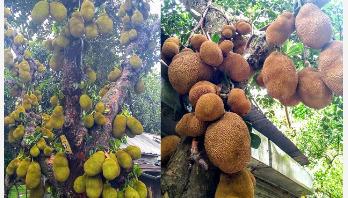 বিজয়নগরে কাঁঠালের বাম্পার ফলন, দামও ভালো