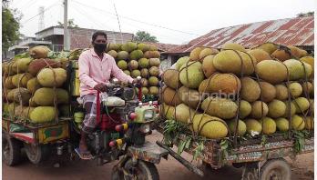 চুয়াডাঙ্গায় কাঁঠালের ভালো ফলন, দাম নিয়ে হতাশ