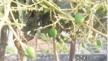 চাঁপাইনবাবগঞ্জে গাছে গাছে 'আমের গুটি'